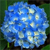 Hortensia_Blauw_4f8dc8ad4ffcf_1.jpg